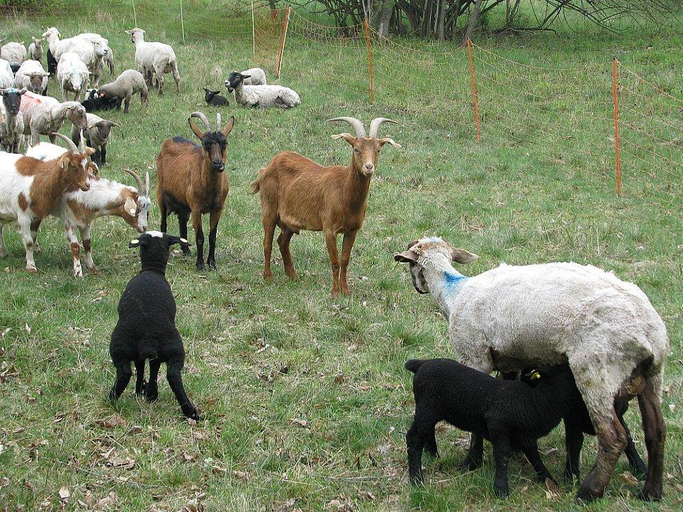 Stráně spásají ovce a kozy