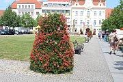 Centrum Berouna letos ozdobily stovky muškátů. Oproti uplynulým letům město rozšířilo svoji letní květinovou výzdobu.