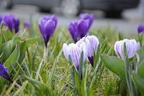 Šafrán jarní, též znám jako šafrán bělokvětý či krokus jarní (latinsky Crocus vernus).