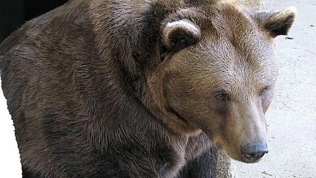 Lesopark Městská hora je domovem mevdvědů již osmý rok