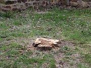 Po nemocných stromech u městských hradeb v Berouně zbyly jen pařezy.