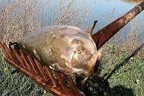 Nedostatek kyslíku zabíjí ryby. Mnoho jich také zlikvidují volavky a další druhy rybožravých ptáků, kterým se v poloprázdných rybnících snáze loví.