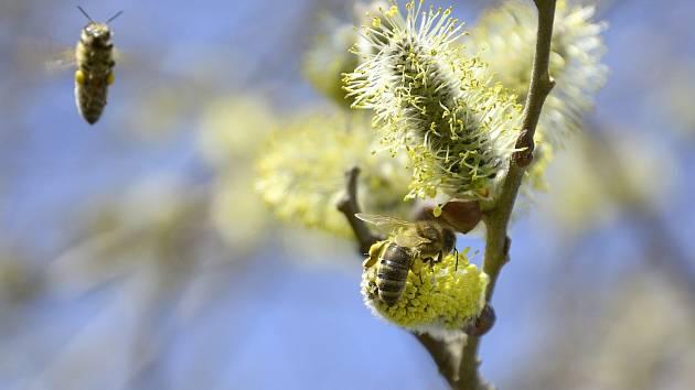 Včely při opylování květů vrby jívy.