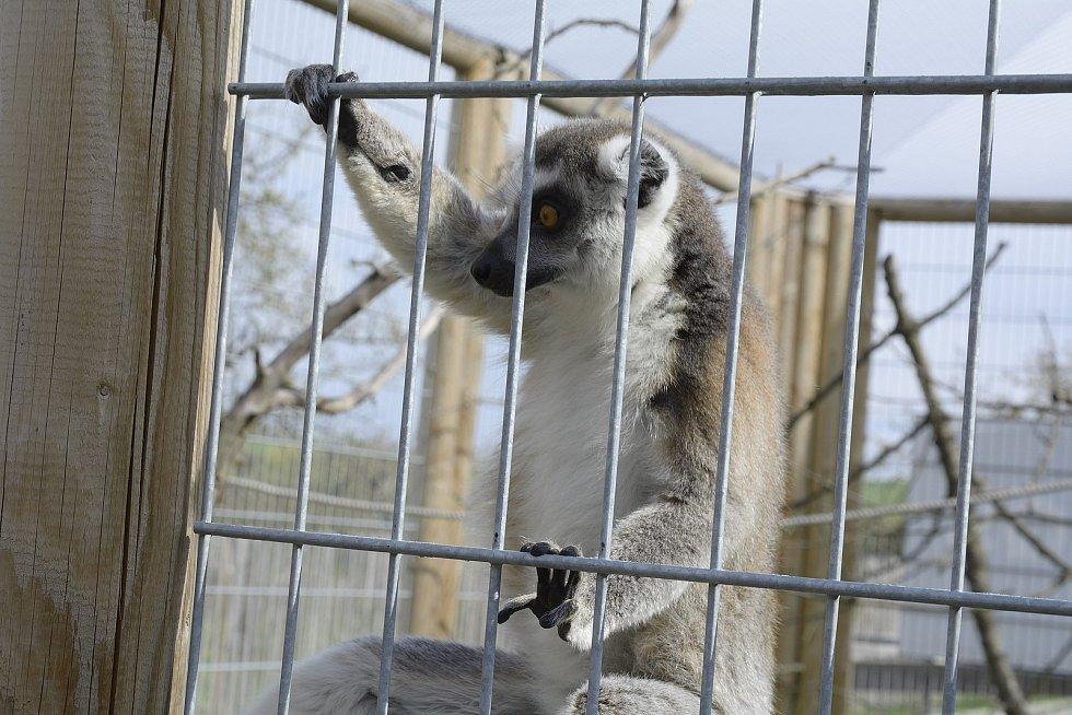 Lemur na Statku u Merlina v Chyňavě.