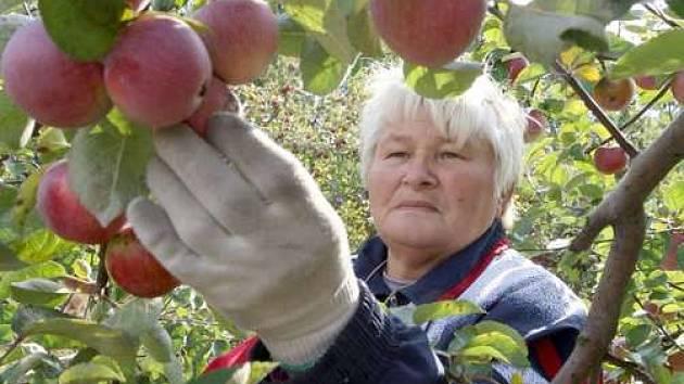 Česání jablek patří k podzimu, někdy ale může končit pádem
