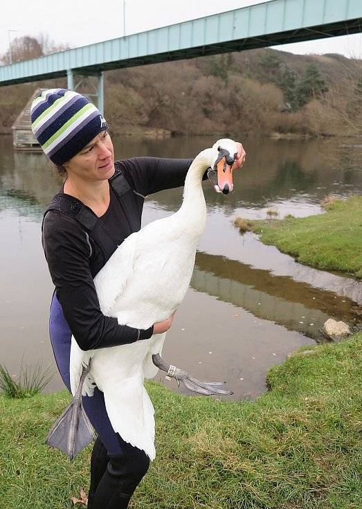 Odchyt labutí samice se zaseklým háčkem v zobáku.