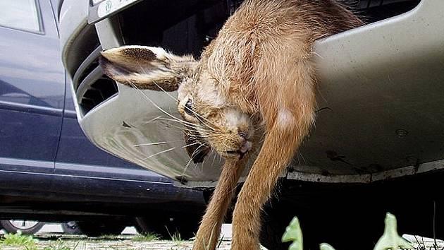 Řidič je havárii povinen oznámit myslivcům. Sraženého divočáka, zajíce či srnku si nesmí odvézt. V případě, že by policie zvíře objevila v kufru auta, hrozí mu pokuta až pět tisíc korun.