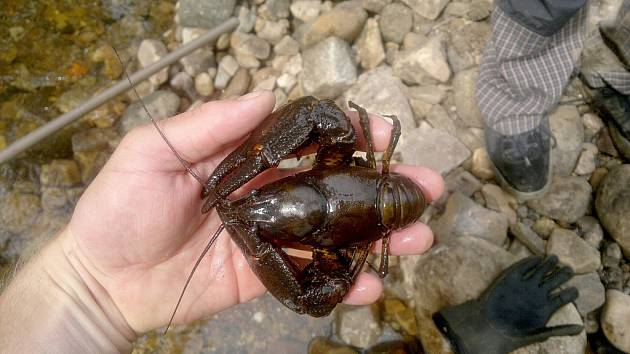 Záchrana ryb a raků na Červeném potoku