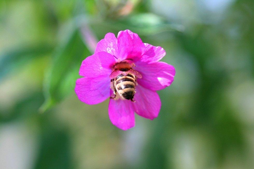 Včela v květu