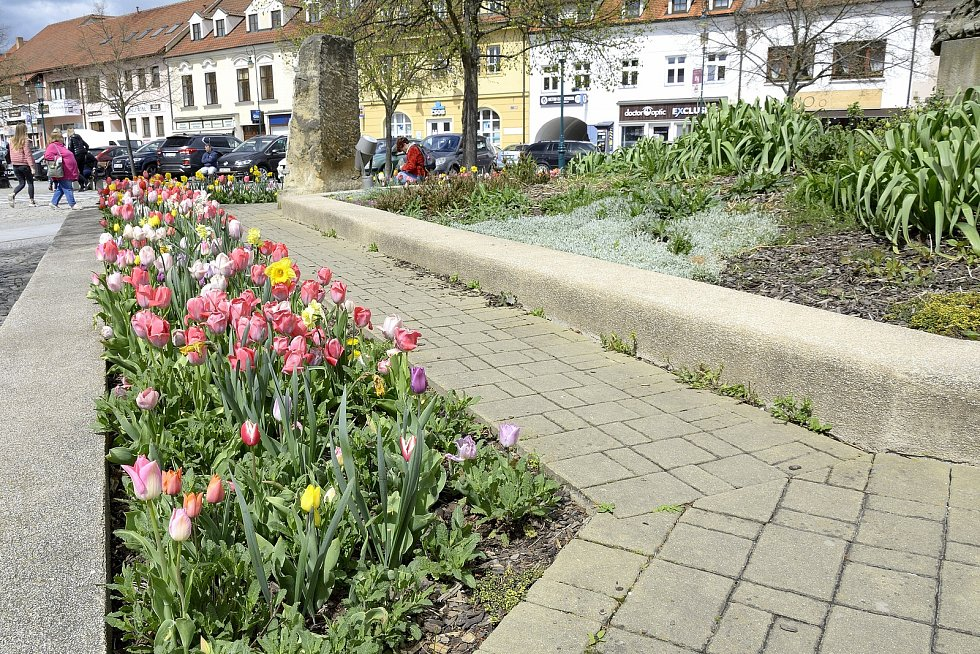 Barevná paleta tulipánů u Pomníku padlým na Husově náměstí v Berouně.