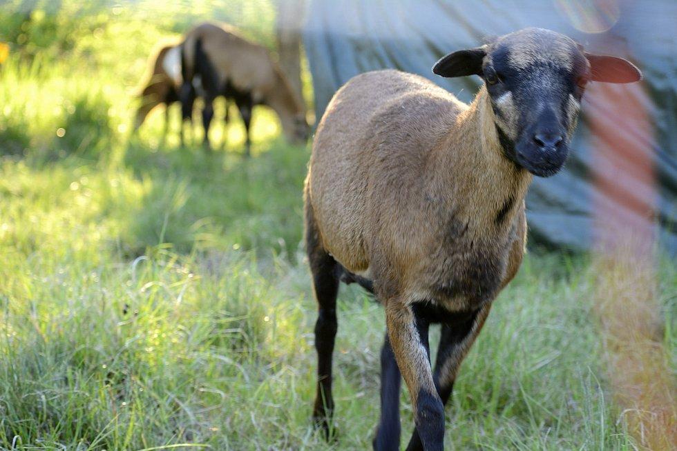 Ovce kamerunská vskutku svým vzhledem připomíná kozu.