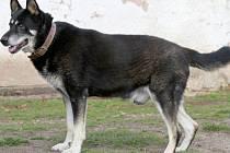 PŘED obcí Březovou byl nalezen uprostřed silnice ležící starý pes. Je to mohutný kříženec německého ovčáka.