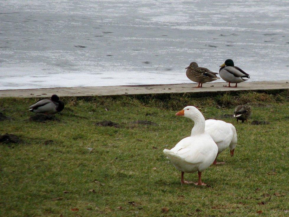 Ptačí chřipka zasáhla Hlásnou Třebaň