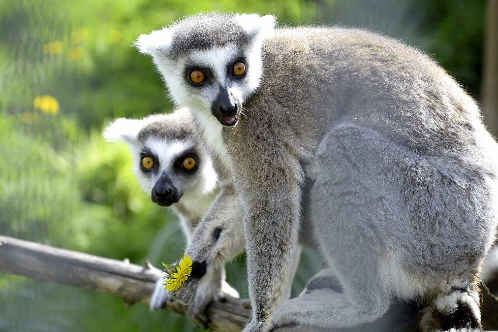 Lemurové na Statku u Merlina v Chyňavě.