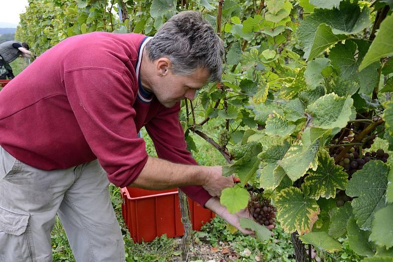 Sklizeň hroznového vína na Karlštejně.