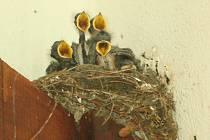vlaštovčí hnízdo