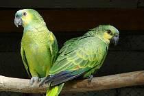 Takto vypadá dvojice papouška druhu amazoňan modročelý. Ilustrační foto.