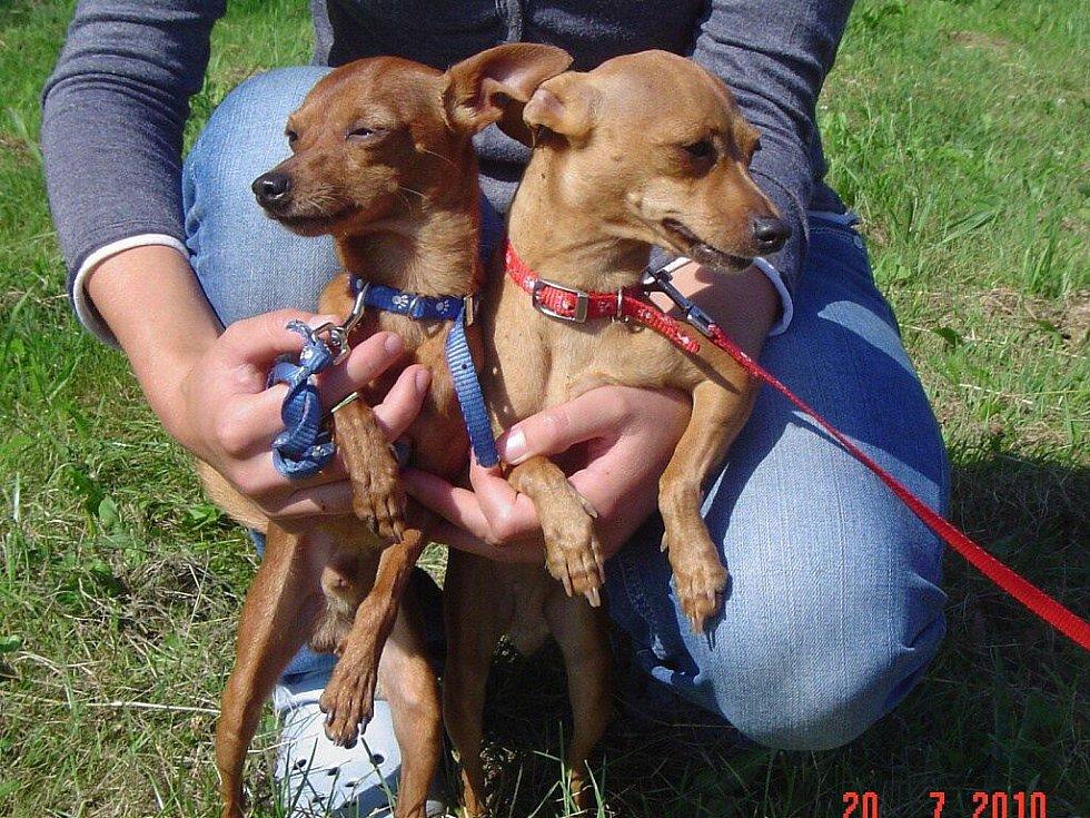 V Blatné byli 15. července odchyceni   dva psi rasy pinč – fena a pes, hnědé barvy, stáří cca 2 roky.