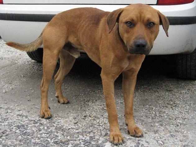 Pes nalezený v ulici Heydukova ve Strakonicích.