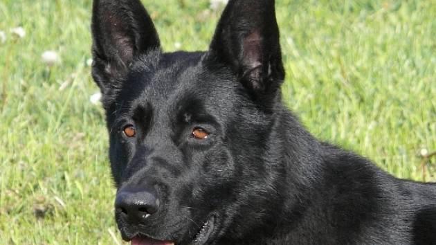 Pes Metis, který zavedl policii k pachateli.