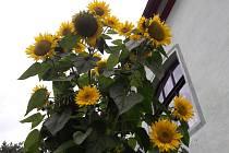 Slunečnice vyrostla do výšky čtyř metrů.