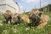Tygr ussurijský.