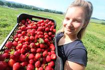 Samosběr jahod v Bavorově