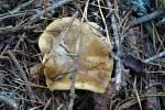 V lesích můžeme ještě najít houby.