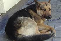 Pes nalezený v Blatné.