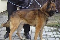 Pes odchycený Městskou policií Blatná