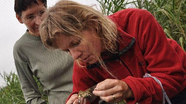 V přírodní rezervaci Řežabinec u Ražic probíhá v těchto dnech odchyt a kroužkování ptáků. Cílem této akce je dlouhodobé monitorování stavů ptactva v této přírodní rezervaci.