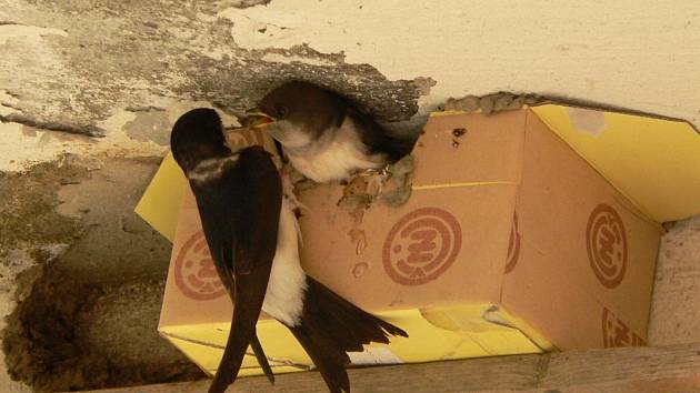 Jiřičky dostaly náhradní hnízdo.