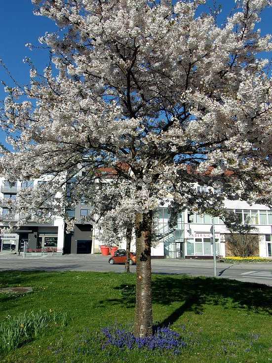 Je jedno krátké období v roce, kdy se příroda kolem nás okrášlí jako nevěsta na svatbu a všechny stromy se obalí do sněhobílého, případně lehce narůžovělého hávu a je to právě teď, v květnu, když začínají kvést stromy.