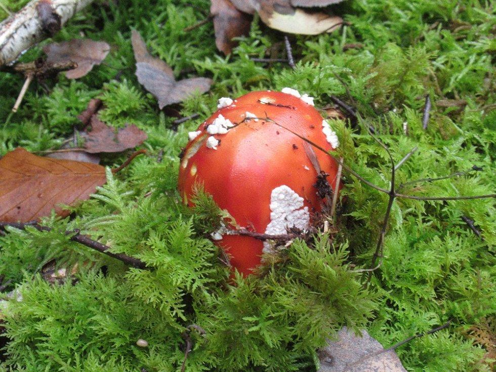 Houbařit se dá v lese i na zahradě.