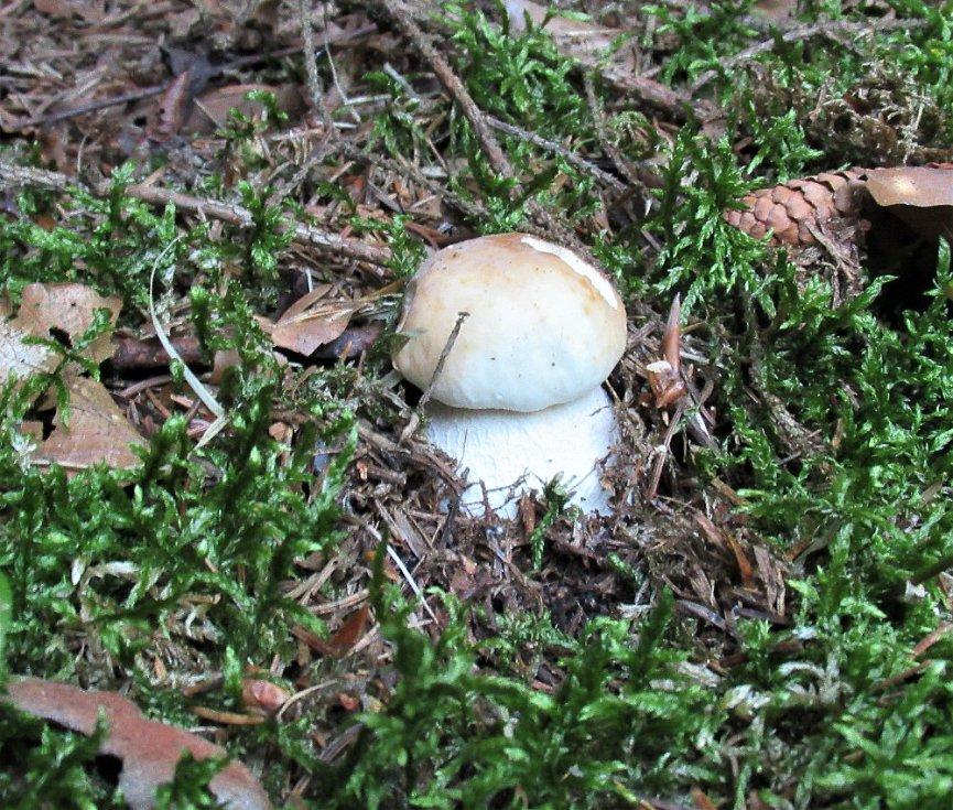 Uplynulý týden bylo sucho, houbám se moc nedařilo. Tedy až na mochomůrky červené.