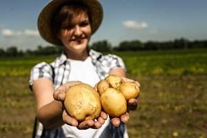 Zahájení sklizně velmi raných brambor představila v pondělí na farmě v Zálezlicích na Mělnicku pěstitelská společnost Hanka Mochov.