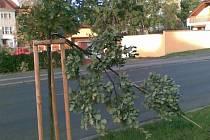 Polámané mladé duby nyní lemují Pražskou ulici.