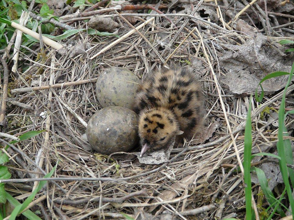Kolonie racka na jezeře Malvíny u Lázní Toušeň. Mládě racka v hnízdě.