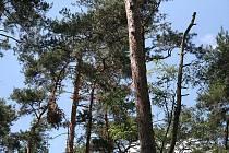 Lesníci mají starosti s prosycháním borovic lesních.