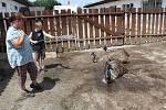 Pštrosi a vietnamská prasátka milují ve vedru mokré osvěžení.