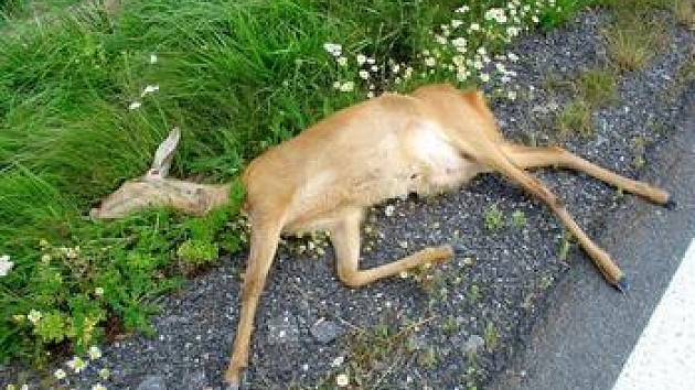 Zabitá zvířata, která se dostala pod kola automobilů, musejí putovat do nejbližší kafilérie.
