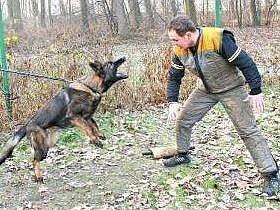 VE STRESU.  Štěňata cvičili psovodi i přivázaná u plotu. Agresor – figurant je pak provokoval různými předměty, do kterých se pes může zakousnout. Po každém pevném zakousnutí a získání kořisti následovala pochvala, případně i odměna.