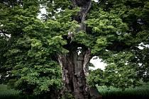 Chorušická lípa má šanci stát se stromem roku.