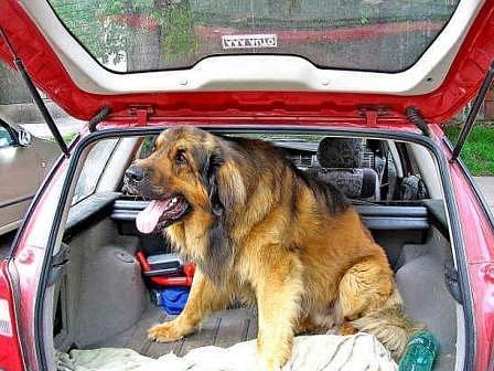 V KUFRU.  Hodně majitelů vozí objemnější psy v kufru auta. I to ale může být pro zvíře zdraví nebezpečné. Kufr je první místo, kam by mohly začít unikat výfukové plyny.