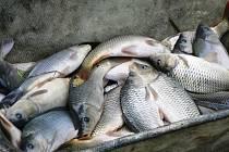 Do Labe byly vysazeny ryby, konkrétně kapři.