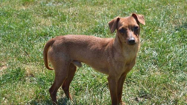 Pětiletý pes Rocky byl odcizen z Mělnického útulku. Antonína B. a Sandru V., kteří psa bez svolení odvedli se nedaří vyhledat pracovníkům útulku ani policii.
