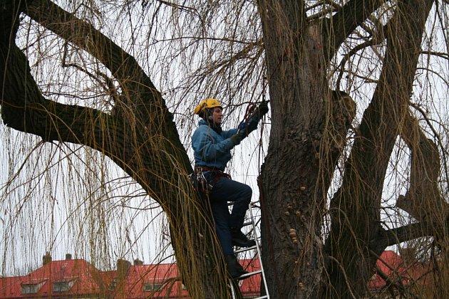 Kácení dvojice sedmdesátiletých vrb v Mělníku