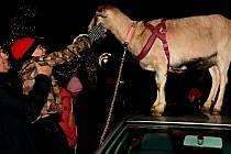 Pohlazení rohaté kozy a procházku kolem kralupského náměstí si nechal ujít málokdo.