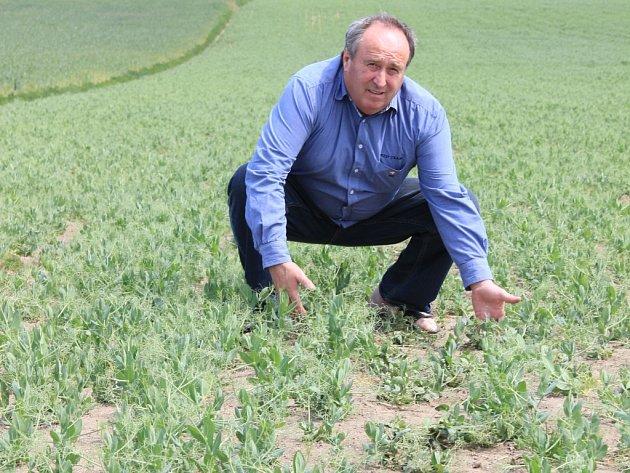 Porosty hrachu byly podle zemědělce Stanislava Fialy (na snímku) loni ve stejnou dobu nad kolena. Letos jsou u země.