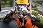 EXTERNÍ FOTOGRAFIE >>> Zdroj: archiv ORLEN Unipetrol RPA Střední Čechy (31. 5. 2021) – Radostné je letos počítání mláďat sokola stěhovavého v areálech chemických závodů na Mělnicku, kde si tito ohrožení dravci oblíbili hnízdění na vysokých komínech zajišť